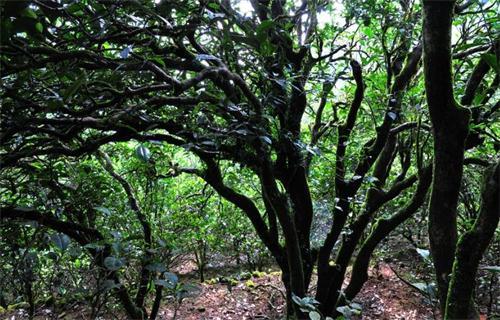 泛指可用于泡茶的常绿灌木茶树的叶子,以及用这些叶子泡制的饮料,后来